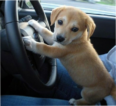 puppy learning to drive